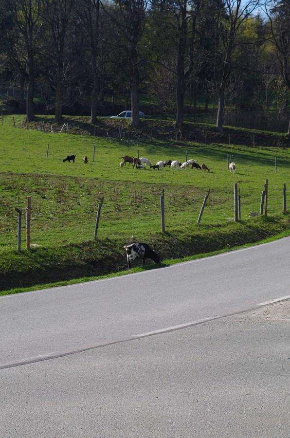 Zbiegła koza, ta ze snu zapewne - Kamieńczyk - Czeska Granica