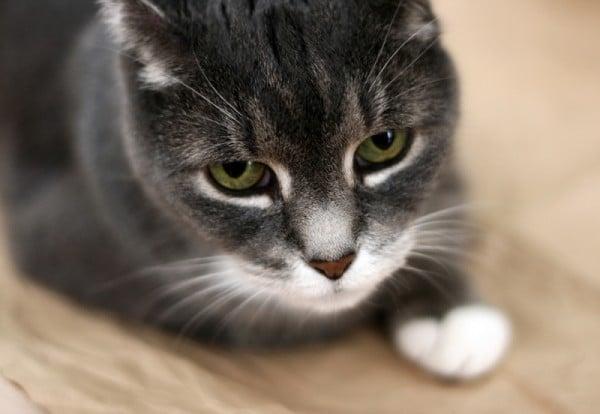 Колит (острый, паразитарный, хронический и др.) у кошек. Колит у кошек и котов