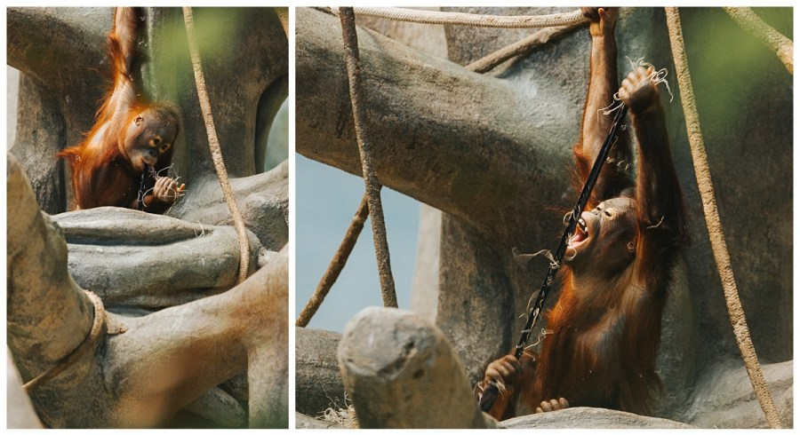 Baby Orangutan at Brookfield Zoo