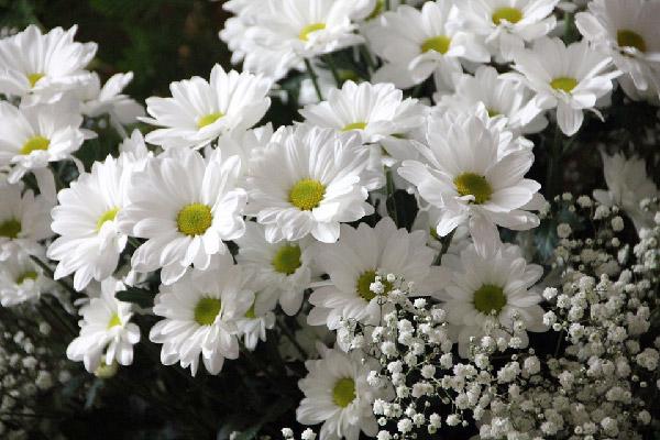 Những bông cúc họa mi màu trắng nhụy vàng