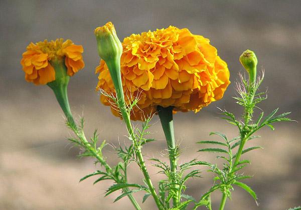 Bông cúc vạn thọ màu cam