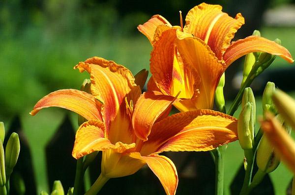 Những bông hoa ly đẹp