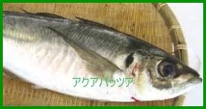kukku アクアパッツァを作る時の魚の種類・レシピ