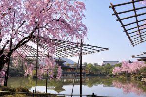 平安神宮-アクセス-桜