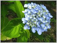 梅小路公園の紫陽花2