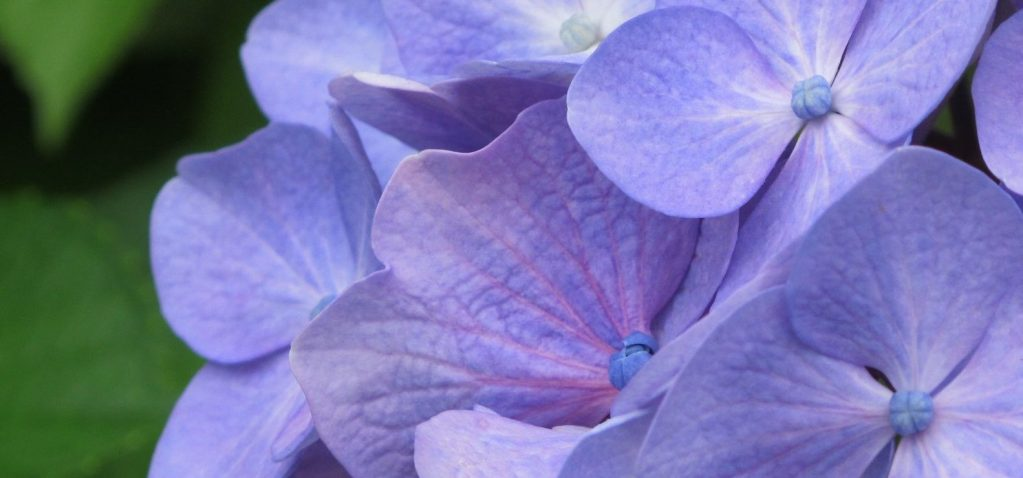 Hydrangea (ajisai)