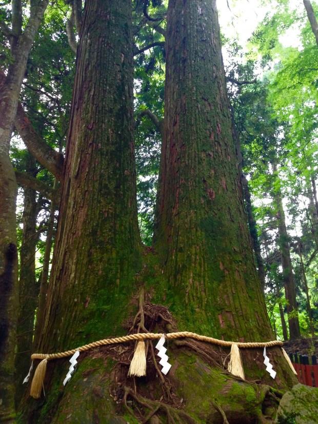 貴船神社相生の大杉