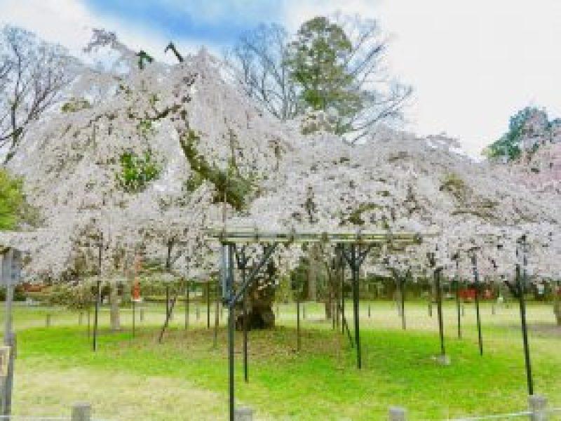 上賀茂神社桜11