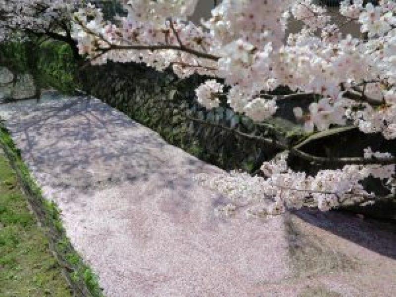 哲学の道桜花見5