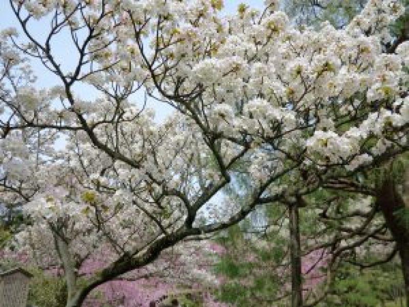平安神宮桜お花見9