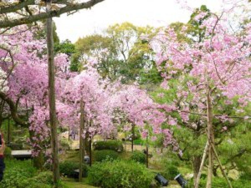 平安神宮桜お花見21