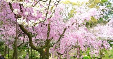 平安神宮桜お花見25