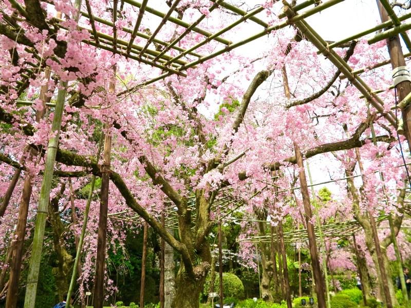 平安神宮桜お花見24