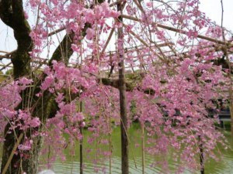 平安神宮桜お花見18