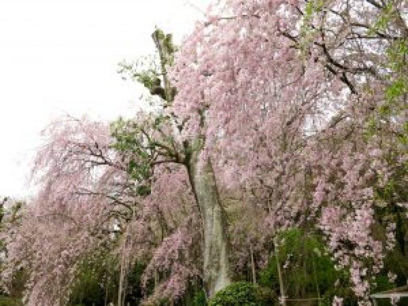 龍安寺桜お花見7