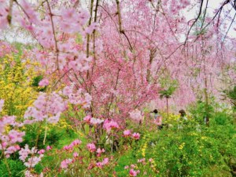 原谷苑桜お花見12