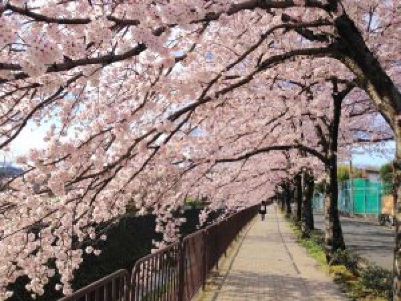 京都桜お花見穴場岩倉4