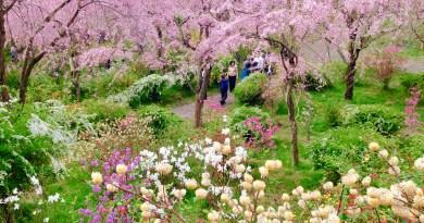 原谷苑桜お花見33