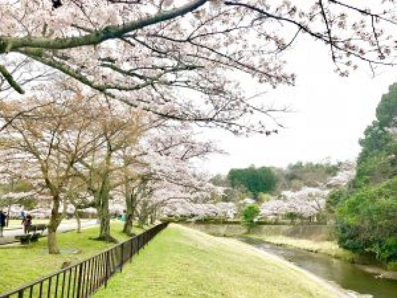 宝ヶ池公園花見桜6