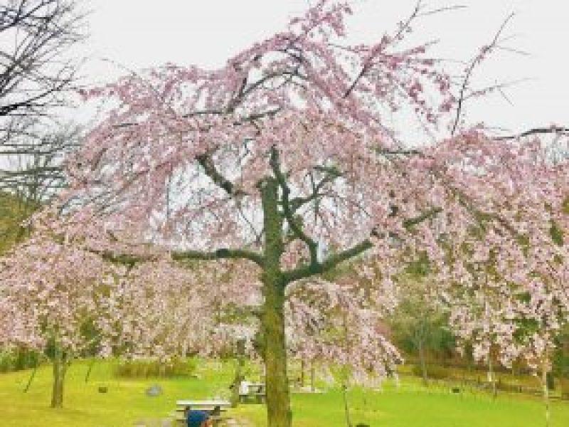 宝ヶ池公園花見桜5