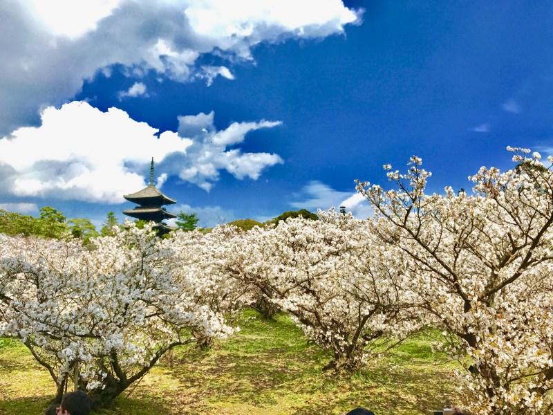 仁和寺御室桜花見11