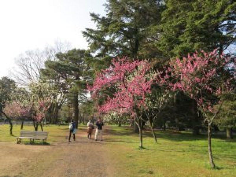 京都御所桜お花見5