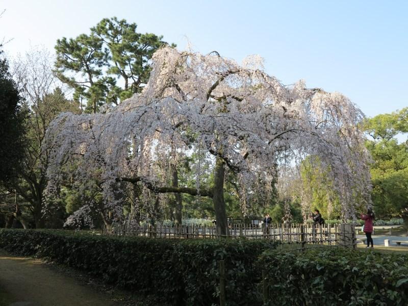 京都御所桜お花見