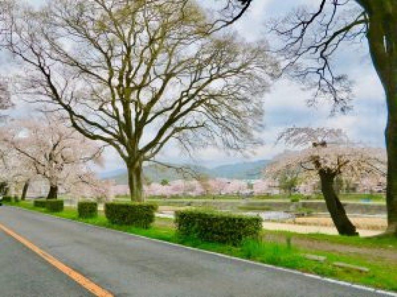 京都桜お花見鴨川デルタ8