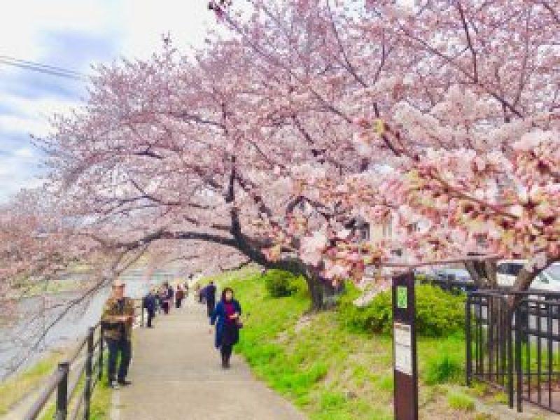 京都桜お花見鴨川デルタ5