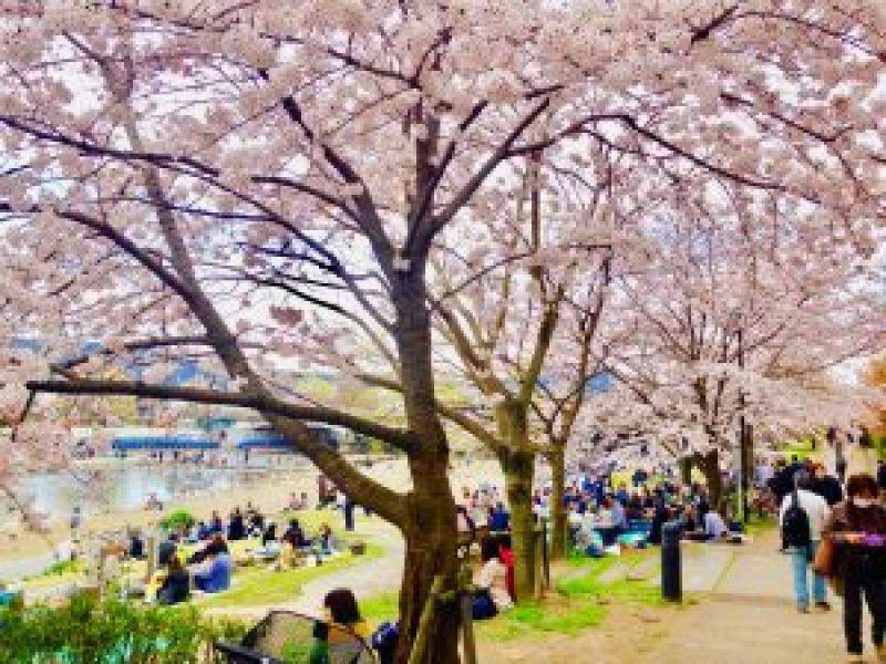 京都桜お花見鴨川デルタ3