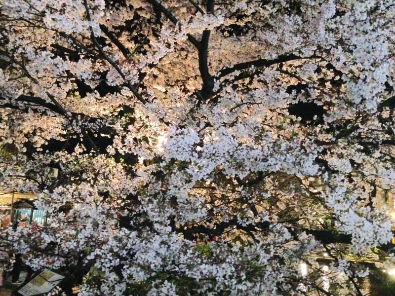 祇園白川高瀬川桜お花見8