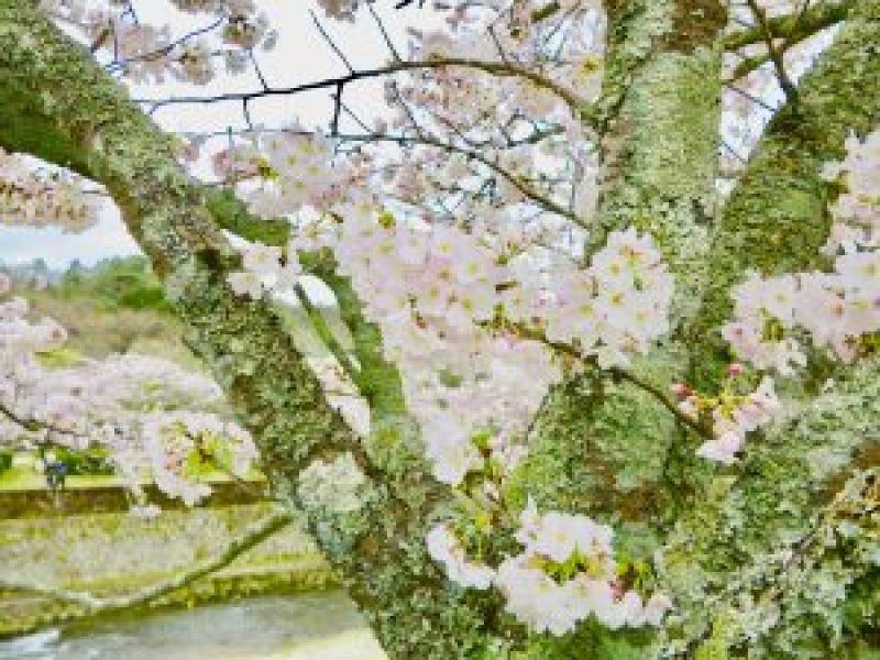 宝ヶ池公園花見桜