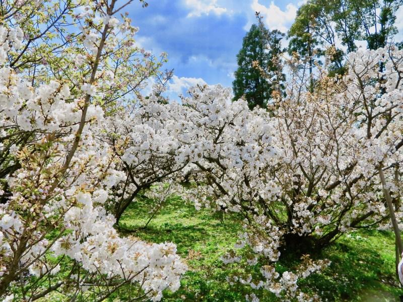 仁和寺御室桜花見1