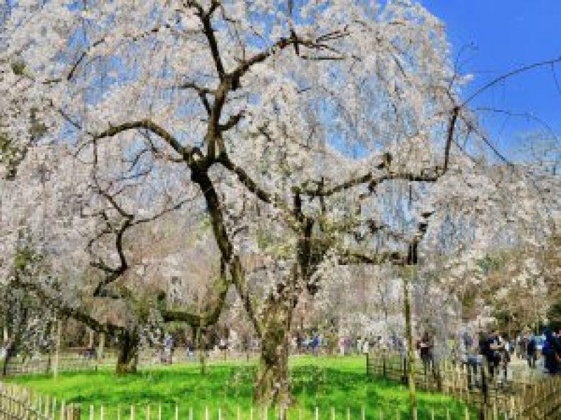 京都御苑近衛桜15