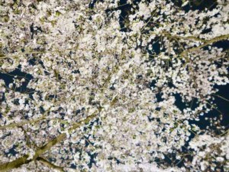 平野神社夜桜12