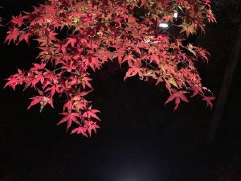 青蓮院紅葉ライトアップ5