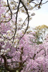 平安神宮神苑の八重紅しだれ桜