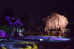 高台寺の枝垂桜