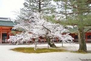 平安神宮の桜2017