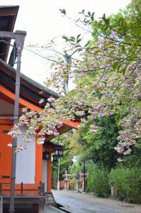 美御前社前の枝垂桜