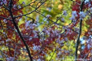 赤山禅院の紅葉2018