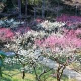 京都「北野天満宮」お土居・梅