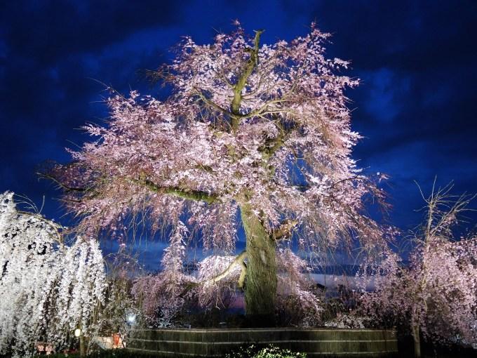 京都・祇園夜桜
