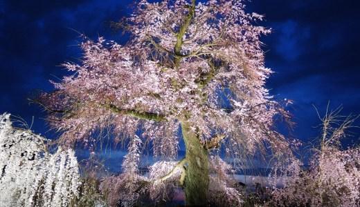 🌸 京都「祇園の夜桜」咲き始め☆七変化☆円山公園 Gion Cherry KYOTO