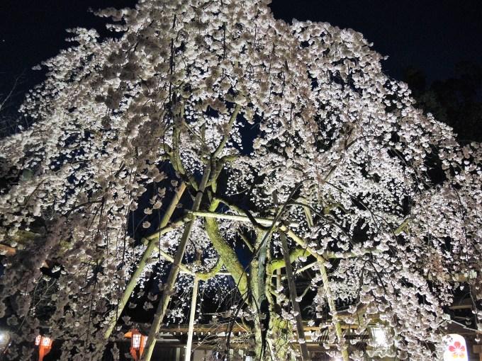 京都「平野神社」しだれ桜・魁・ライトアップ