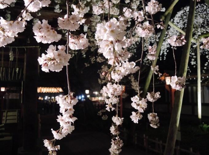 京都「平野神社」しだれ夜桜・ライトアップ