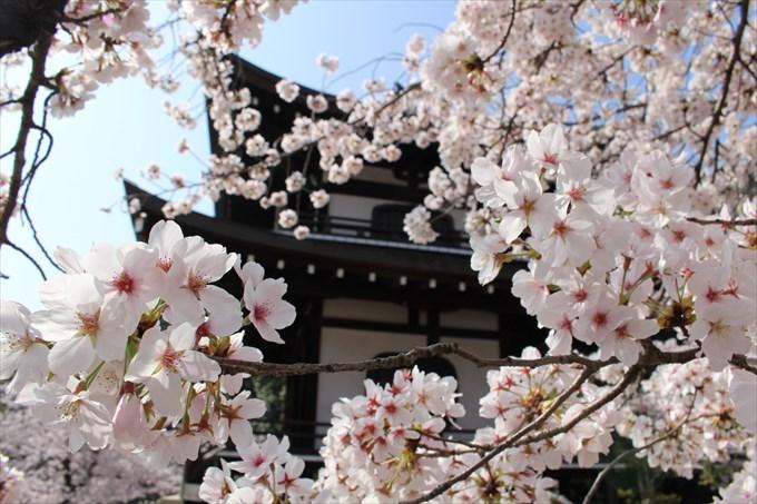 30勧修寺の桜