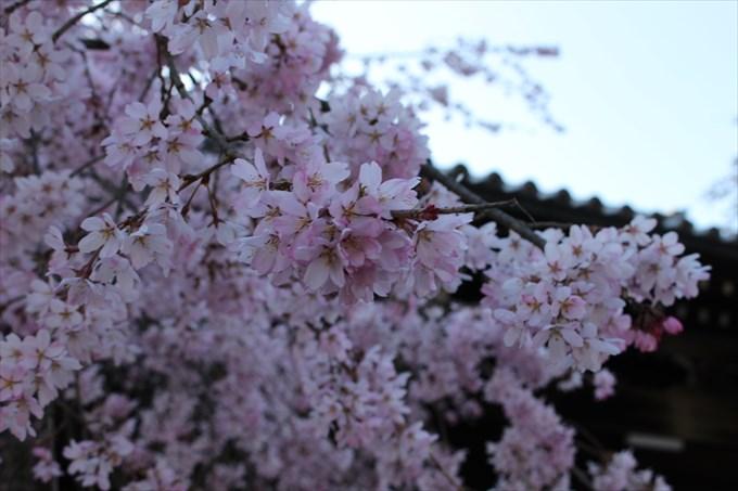 3妙満寺の桜アップ