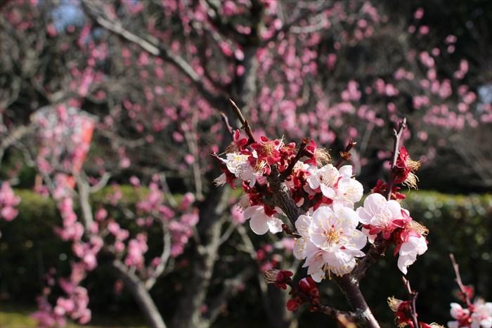 9梅の咲き具合
