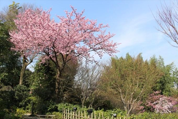 4高台寺の桜